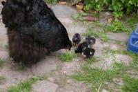 Salg af bæredygtige hønseartikler - Webshop i vækst søger investor